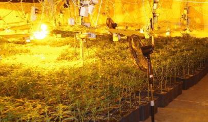 marijuana piantagione